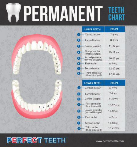 permanent teeth chart